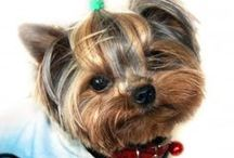 Yorkshire Terrier / FCI Group 3, Section 4, Standard N° 86