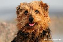 Norfolk Terrier / FCI-Group 3, Section 2, Standard N° 272