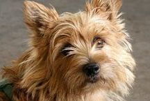 Norwich Terrier / FCI-Group 3, Section 2, Standard N° 72