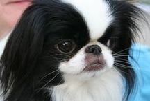 Japanese Chin / FCI - Group 9, Section 8, N° 206