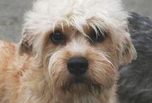 Dandie Dinmont Terrier / FCI - Group 3, Section 2, N° 168