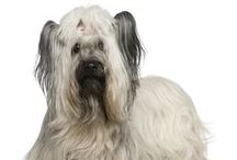 Skye Terrier / FCI- Group 3, Section 2, N° 75