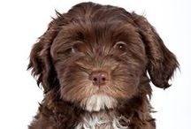 Havanese / FCI-Group 9, Section 1.1, Standard N° 250)