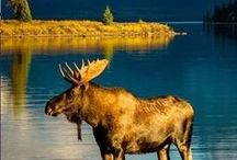 Wildlife Adventure / The most amazing creatures in North America thrive in Canada's vast wilderness. Our bountiful land offers endless places for animals to live, making it a great place to view wildlife. Here are a few of our favourite Canadian critters for full detailed maps on where to find the best wildlife sightings in your area visit backroadmapbooks.com