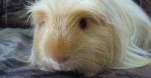 Guinea pig, farm, hamster, bird .....