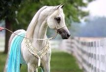 Pretty Arabians / The most beautiful Arabian horses from all over the world