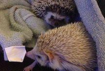 Hedgehog / Hedgehogs