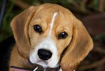 Pooch Perfect / One beagle when I grow up, please!