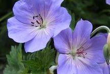 Enloe Garden / Sunny flower border