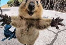 Quokka The Cutest Animal Ever!