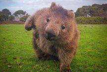 Dinki Di Wombat