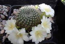 CACTUS / Las cactáceas (Cactaceae) son una familia de plantas suculentas y, en gran mayoría, espinosas, conocidas en conjunto como cactos o cactus. Esta familia es prácticamente exclusiva de América, / by Ana Iriarte
