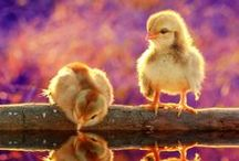 Duck, Duck, Goose, and Swans / Thanks for following. Please pin just 10 pins at a time. Thanks.  / by Cheryl