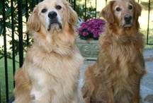 Goldens / Golden Retrievers - one of God's greatest gifts.   Best friends for life, and beyond. / by Jeve Seilor