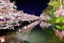 Sakura 桜 / 大好きな花