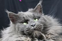 """Maine Coon Cats / Cats and kittens in our Maine Coon cattery """"Rimrock"""""""