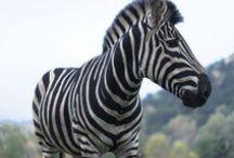 Zebry - nie tylko czarne :) / Zebra...