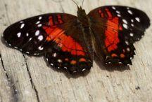 Butterfly / Fluturi