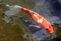 Koi, Water Garden Fish  / by Debbie Chandler