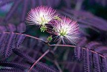 Plants | Mimosaceae