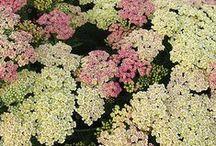 Plants | Asteraceae