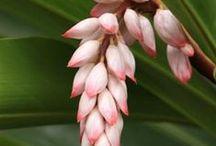 Plants | Zingiberaceae