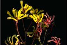 Plants | Haemodoraceae