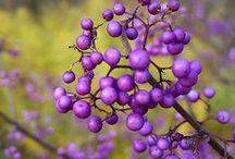 Plants | Verbenaceae