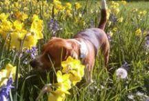 Tessa de ondeugende beagle / Over mijn hond Tessa, die een heel gelukkig leven bij ons heeft! Ze houd veel van strand en bossen! Rennen door het water en lekker graven op het strand is helemaal the bomb!!  Het is een echte deugniet!