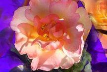 Fleurs / Photos retouchées (numérique )