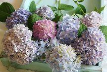 HYDRANGEAS~*~ / I simply love this fluffy, frilly, breathtaking flower.