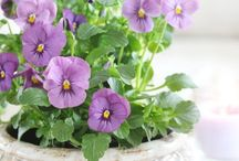 Pansies & Violets~*~ / These sweet little flowers have the power to make me smile.  Their colors  are wonderful and even if your not much of a gardener you can grow these easily.