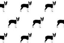 Sweet Boston Terriers