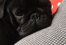 I love Dutch Bulldogs (Pugs)
