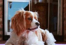 Sweet Sophie / Southern Girl Prep mascot is a King Charles--Cocker Spaniel mix named Sophie!