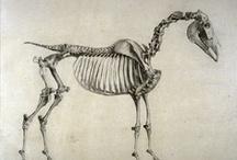 drawing horses 101: anatomy / Bones, muscles, proportions, some basic gear. How to make a horse look real, mostly by awesome people like George Stubbs. Colors, patterns (pinto, leopard), tack, examples of awesome and awful on other boards here.