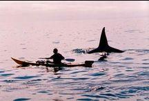 swordwhale / Orca: also known as: mak-eh-nuk, keet, skana, swordwhale (zvaardwalvis), agliuk, niss'onkhgessyak, pictwhale, epaulard, kosatka drava, vaghund (hunting together like dogs), akan, grampus, svinka, innuatu, sadshi, repun kamui (master of the open sea)...and in Australia & New Zealand, just orcs.