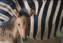seeing stripes / Striped equines: zebras, zorses, brindles, dun striping, roan striping and other beauties. Zorses, zonies, zonkeys and zebra mules are hybrids of horse, pony, donkey and zebra. They carry color from both parents: any white markings from the horse side remain white, zebra stripes overlay the horse color. In Appaloosa crosses, the zebra stripes do the same, showing up only in the colored parts of the zorse, not in the white markings.
