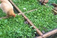 . Farm: Chickens .