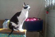 CATS Oriental