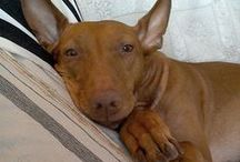 PHARAOH HOUND / The King and the Queen of Dogs.