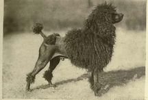 Poodles of the past / Pictures from past decades or even even centuries