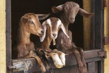 Goats are AWESOME!!!!