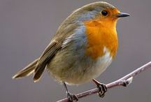 British Birds / Birds in the wilds of Great Britain