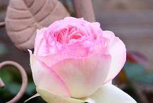 Amour des roses  roses love / La fleur que j'aime le plus