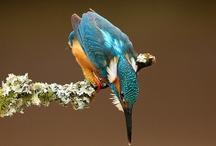 boids — coraciiformes • tyranni / CORACIIFORMES (kingfishers, bee-eaters, rollers, mot-mots, hornbills, hoopoes) and SUBORDER TYRANNI (manakins, pittas, broadbills, cotingas) MINUS TYRRANIDAE (flycatchers) / by Dicentra spectabilis