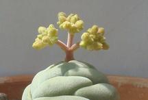 xeric specimens / individual succulent identification / by Dicentra spectabilis
