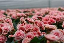 """Florpagano - Le nostre produzioni / In tutti i periodi dell'anno, Florpagano propone una costante offerta settimanale di piante verdi e fiorite da appartamento alle quali si aggiungono le """"produzioni stagionali"""". www.florpagano.com"""