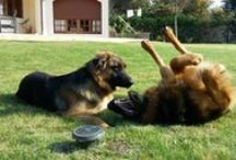 Mes petits - Napo y Calu / My dogs. The best. Mix of German Shepard with Bernoise Mountain dog.