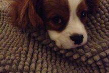 Karolos-Cavalier King Charles Spaniel - My pet / Pet
